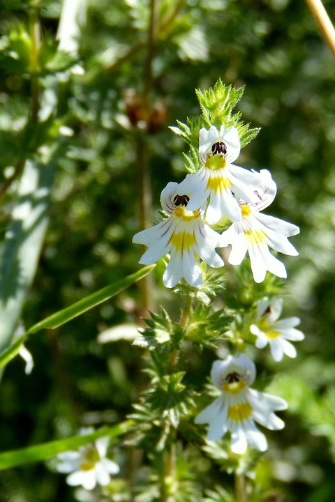 Euphrasia Augentropfen - Pflanze